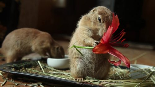 Two gerbils in the frame one in the back ground out of focus eating from a small bowl with the other in the foreground standing on two legs eating a red flower
